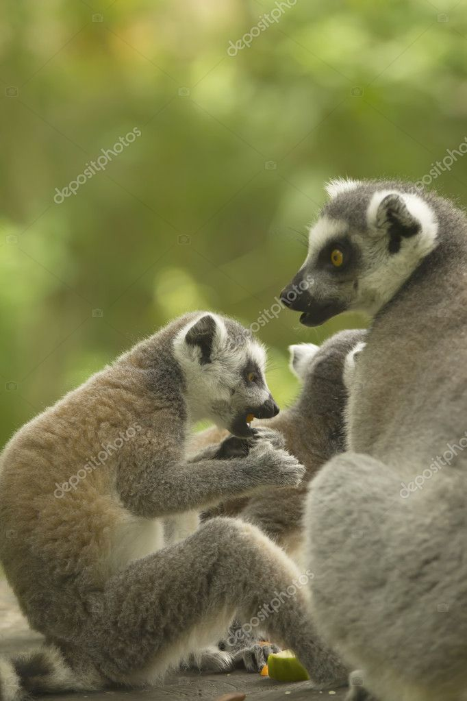 A pair of lemur ( Ring-tailed lemurs ) with food. Vertically. — Stock Photo #11782680