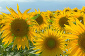 Sunflower field on blue sky — Stock Photo