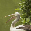 Stock Photo: Closeup profile view of Pelican.