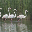 Group of four flamingos in a lake — Stock Photo