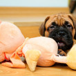 Stock Photo: Little puppy bullmastiff