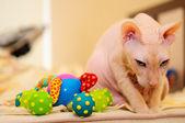 Don Sphynx cat — Stock Photo