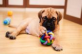 Little bullmastiff cucciolo — Foto Stock