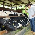 Farmer feeding cows — Stock Photo