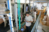 Farmers milking cows on dairy farm — Foto Stock