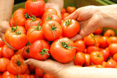 Tomato in women's hands — Foto de Stock