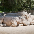 White Rhinoceros, Ceratotherium simum — Stock Photo