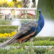 Peacock. — Stock Photo