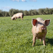 Two pigs grazing in field — Stock Photo #12105571