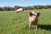 Two pigs grazing in field — Stock Photo