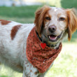 Brittany Spaniel dog - Stock Photo