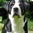 Greater Swiss Mountain Dog, adult. — Stock Photo