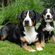 Stock Photo: Greater Swiss Mountain Dog, adult and puppy