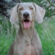 Weimaraner dog. — Stock Photo