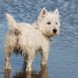 Westhighland Terrier. — Stock Photo #11380338