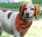 Brittany Spaniel dog — Stock Photo