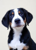 Greater Swiss Mountain Dog, puppy — Stock Photo