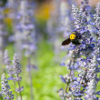 Bee on busy — Stock Photo #11435463
