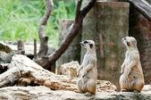 Twin Lovely Meerkat — Stock Photo