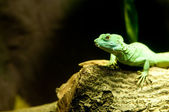 Green Lizard Green — Stock Photo