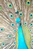 Peacocks — Foto de Stock