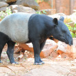 Malayan Tapir — Stock Photo #11990059