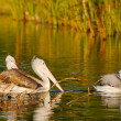 Spot Billed Pelican — Stock Photo