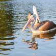 Spot Billed Pelican - Stock Photo