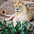 Panthera leo — Stock Photo