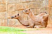 Camel — Stock fotografie