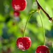 Stock Photo: Sour cherries