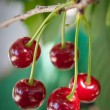 Sour cherries — Stock Photo #10878092