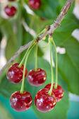 Sour cherries — Stock Photo