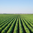 Soybean field — Stock Photo #11235973