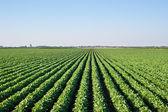 Veld voor sojabonen — Stockfoto