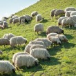Sheep on meadow — Stock Photo #11308594