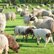 Sheep on meadow — Foto de Stock