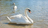 White swans floating — Stock Photo