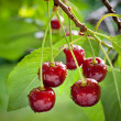 Sour cherries — Stock Photo #11392389