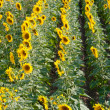 Sunflower field in summer — Stock Photo