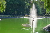 Cigni bianchi galleggianti — Foto Stock
