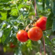 Growth red tomato — Stok fotoğraf