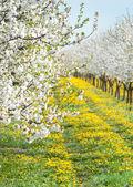 Floreciente huerto de manzanas — Foto de Stock