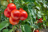 Growing Tomatoes — Stockfoto