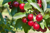 Ripening cherries — Stock Photo