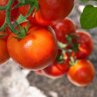 Growth tomato — Stock Photo #11936645