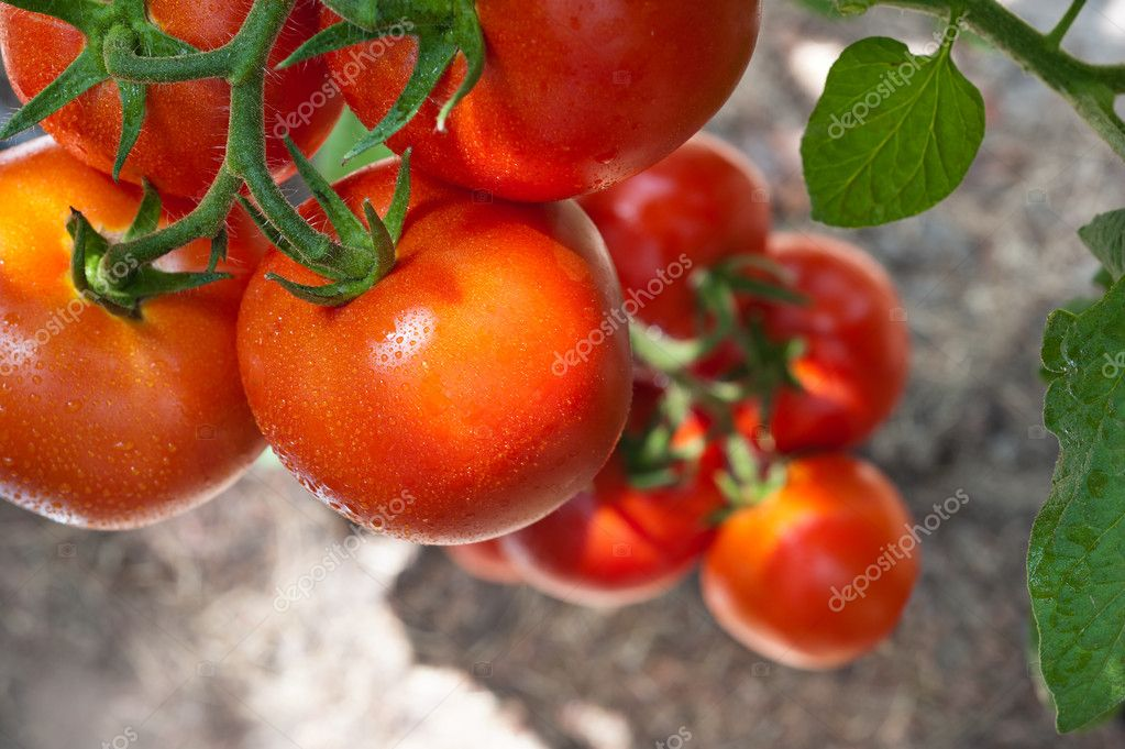 Growth red tomato in greenhouse — 图库照片 #11936645