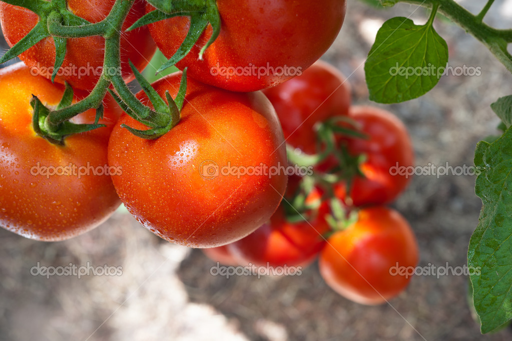 Growth red tomato in greenhouse — Stockfoto #11936645