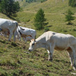 Pasture on Col de Tende 2 — Stock Photo