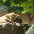 Sleeping lion 2 — Stock Photo